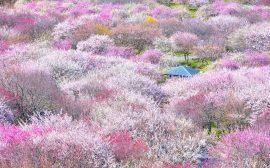 日本を旅する[三重]いなべ市梅まつり