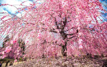 日本を旅する[三重]鈴鹿の森庭園 しだれ梅まつり